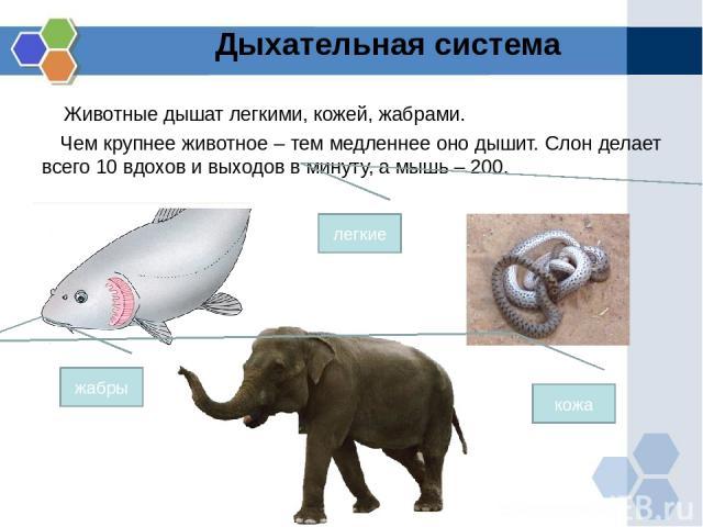 Животные дышат легкими, кожей, жабрами. Чем крупнее животное – тем медленнее оно дышит. Слон делает всего 10 вдохов и выходов в минуту, а мышь – 200. Дыхательная система жабры кожа легкие
