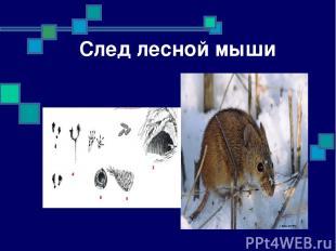 След лесной мыши