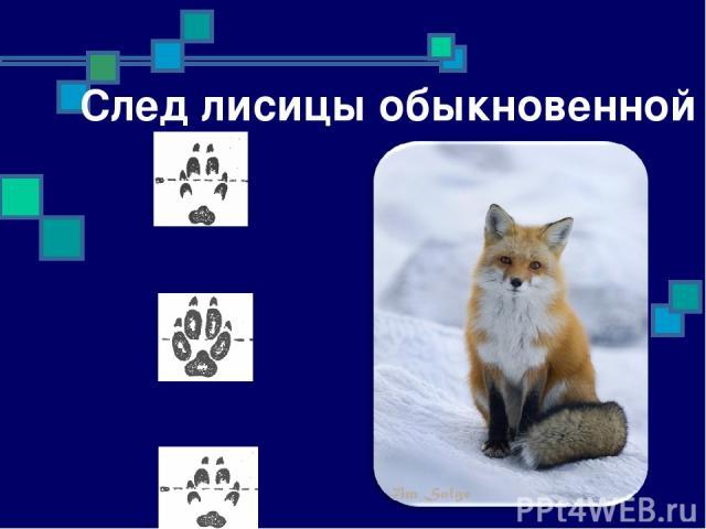 След лисицы обыкновенной