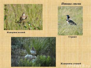 Птицы степи Жаворонок полевой Стрепет Жаворонок степной