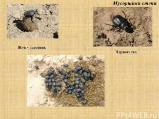 Жук - навозник Чернотелка Мусорщики степи