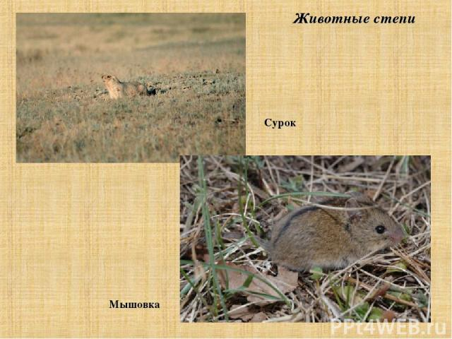 Животные степи Сурок Мышовка