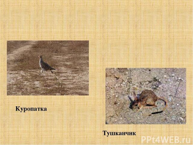 Куропатка Тушканчик