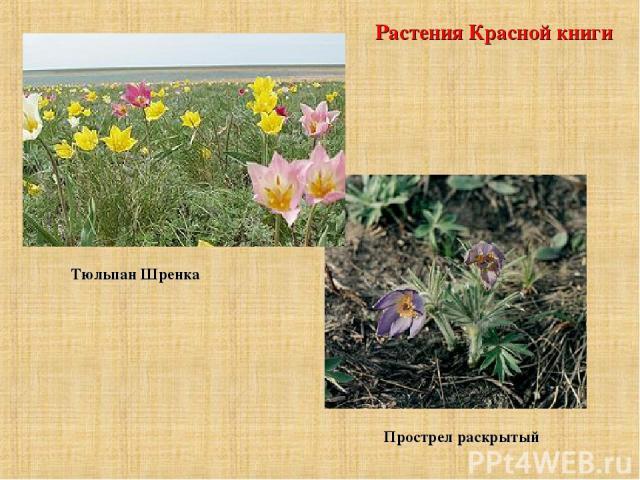 Растения Красной книги Тюльпан Шренка Прострел раскрытый
