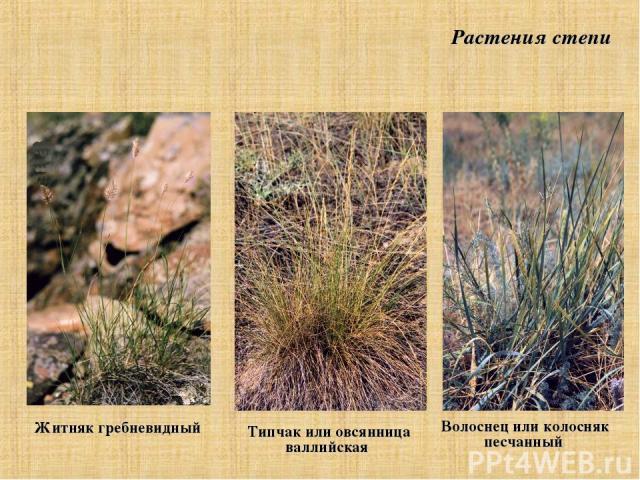 Житняк гребневидный Волоснец или колосняк песчанный Типчак или овсянница валлийская Растения степи
