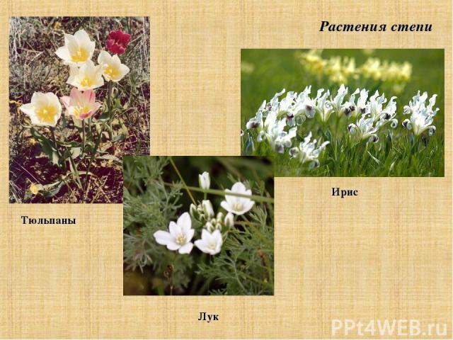 Растения степи Тюльпаны Лук Ирис