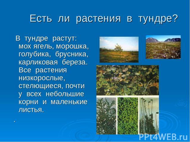 Есть ли растения в тундре? В тундре растут: мох ягель, морошка, голубика, брусника, карликовая береза. Все растения низкорослые, стелющиеся, почти у всех небольшие корни и маленькие листья. .
