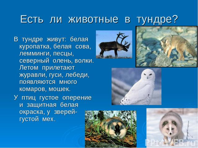 Есть ли животные в тундре? В тундре живут: белая куропатка, белая сова, лемминги, песцы, северный олень, волки. Летом прилетают журавли, гуси, лебеди, появляются много комаров, мошек. У птиц густое оперение и защитная белая окраска, у зверей- густой мех.