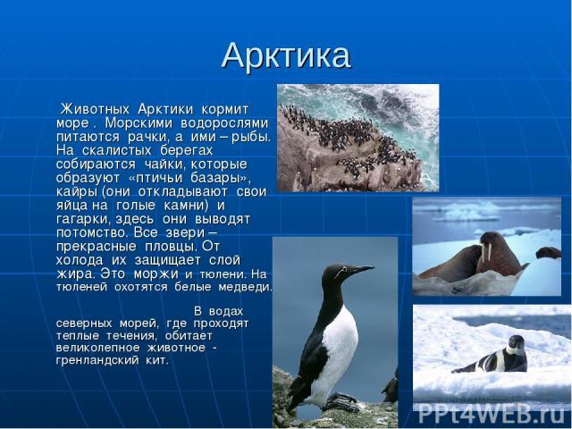 Арктика Животных Арктики кормит море . Морскими водорослями питаются рачки, а ими – рыбы. На скалистых берегах собираются чайки, которые образуют «птичьи базары», кайры (они откладывают свои яйца на голые камни) и гагарки, здесь они выводят потомств…