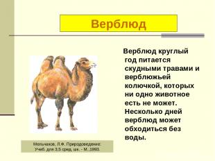 Верблюд круглый год питается скудными травами и верблюжьей колючкой, которых ни