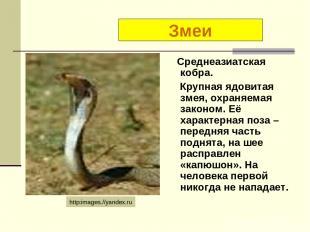 Среднеазиатская кобра. Крупная ядовитая змея, охраняемая законом. Её характерная