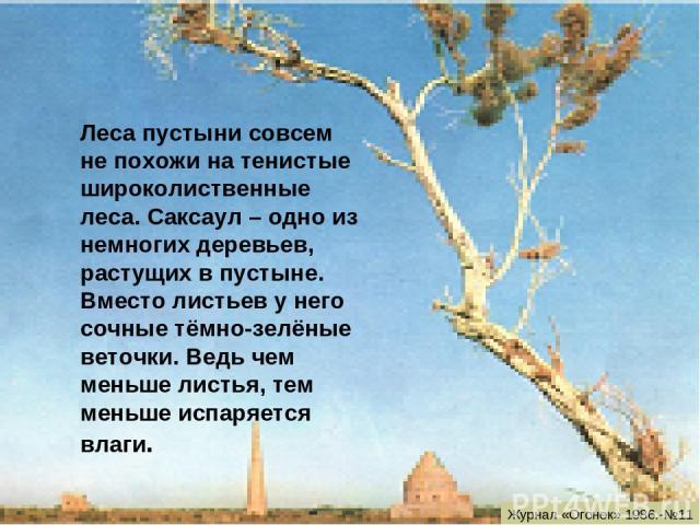 Леса пустыни совсем не похожи на тенистые широколиственные леса. Саксаул – одно из немногих деревьев, растущих в пустыне. Вместо листьев у него сочные тёмно-зелёные веточки. Ведь чем меньше листья, тем меньше испаряется влаги. Журнал «Огонек» 1986.-№11