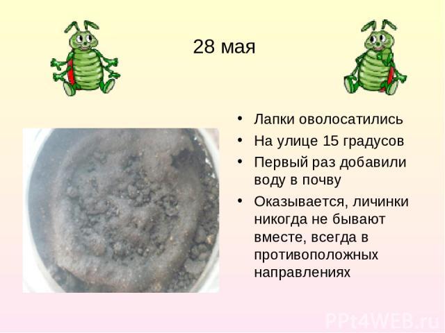 28 мая Лапки оволосатились На улице 15 градусов Первый раз добавили воду в почву Оказывается, личинки никогда не бывают вместе, всегда в противоположных направлениях