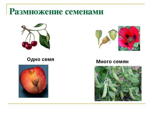 Размножение семенами Одно семя Много семян