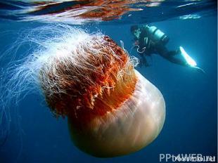 Среди медуз встречаются крупные экземпляры и не очень, ядовитые и безопасные, не