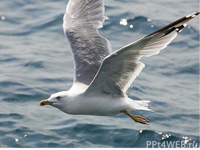 Чайки – усердные мусорщики, они крадут добычу и поедают яйца других птиц, иногда даже нападают на птенцов других чаек. Они обитают по всему миру, где есть море или река. Они очень прожорливы, поэтому изобретательны. Порой чайки выручали человека. Та…
