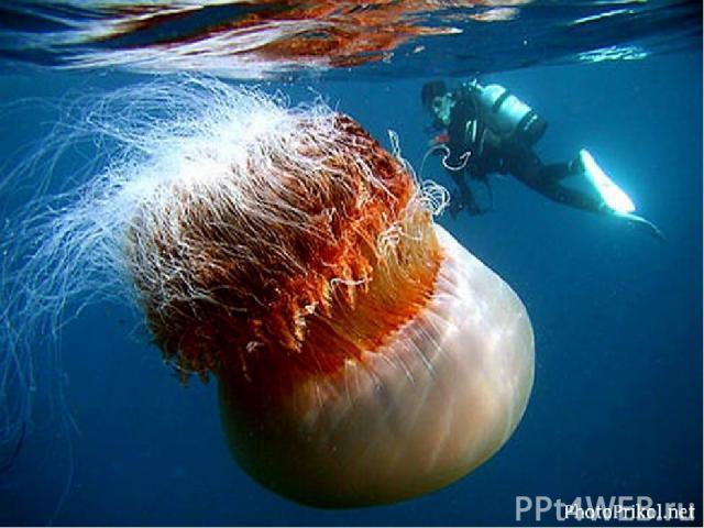 Среди медуз встречаются крупные экземпляры и не очень, ядовитые и безопасные, невзрачные, практически незаметные в воде и отличающиеся яркой расцветкой. Есть медузы, которые могут убить человека одним прикосновением своего прелестного тела или щупал…