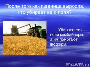 После того как пшеница выросла, кто убирает ее с поля? Убирают ее с поля комбайн