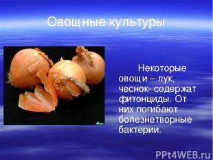 Овощные культуры Некоторые овощи – лук, чеснок- содержат фитонциды. От них погиб
