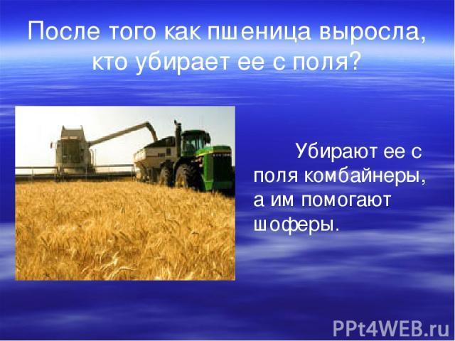 После того как пшеница выросла, кто убирает ее с поля? Убирают ее с поля комбайнеры, а им помогают шоферы.