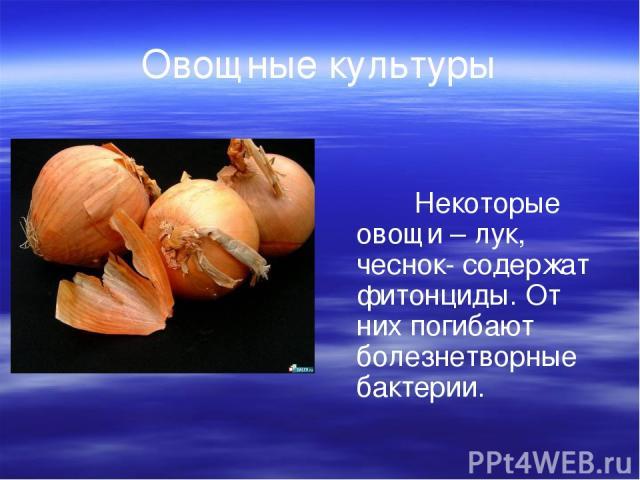 Овощные культуры Некоторые овощи – лук, чеснок- содержат фитонциды. От них погибают болезнетворные бактерии.