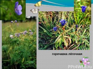 гвоздика Конский щавель Василёк луговой