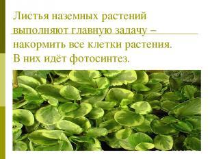 Листья наземных растений выполняют главную задачу – накормить все клетки растени