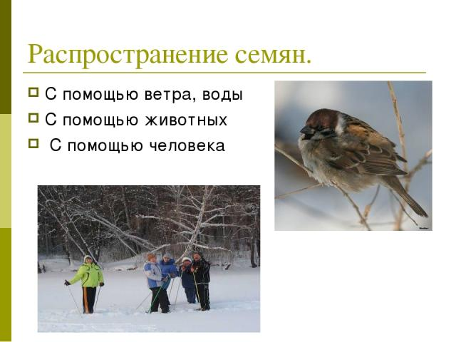 Распространение семян. С помощью ветра, воды С помощью животных С помощью человека