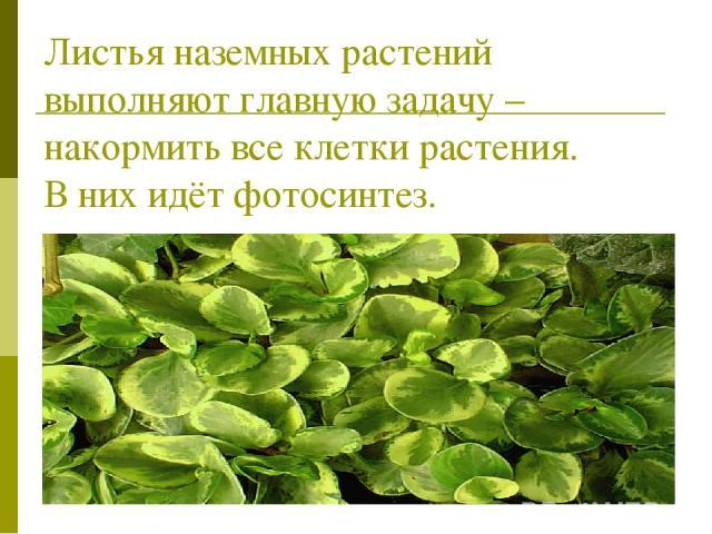Листья наземных растений выполняют главную задачу – накормить все клетки растения. В них идёт фотосинтез.