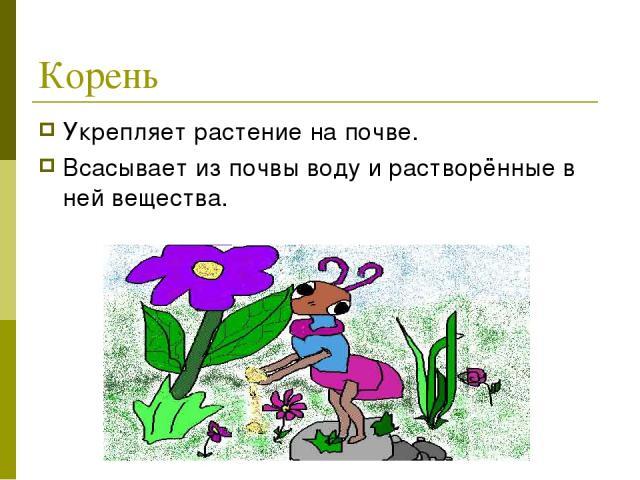 Корень Укрепляет растение на почве. Всасывает из почвы воду и растворённые в ней вещества.