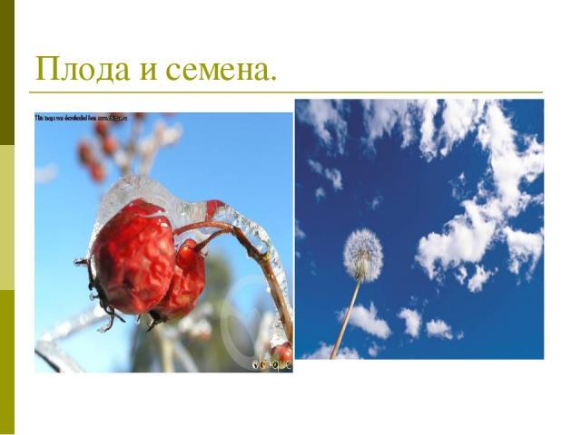 Плода и семена.