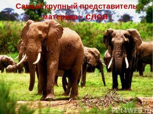 Самый крупный представитель материка - слон