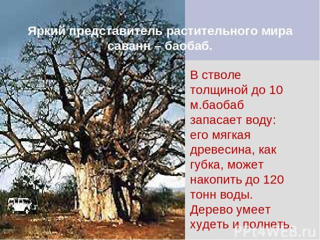 Яркий представитель растительного мира саванн – баобаб. В стволе толщиной до 10 м.баобаб запасает воду: его мягкая древесина, как губка, может накопить до 120 тонн воды. Дерево умеет худеть и полнеть.