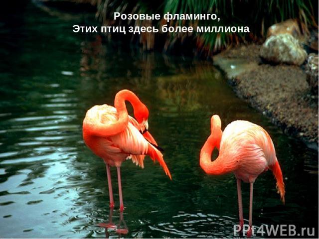 Розовые фламинго, Этих птиц здесь более миллиона