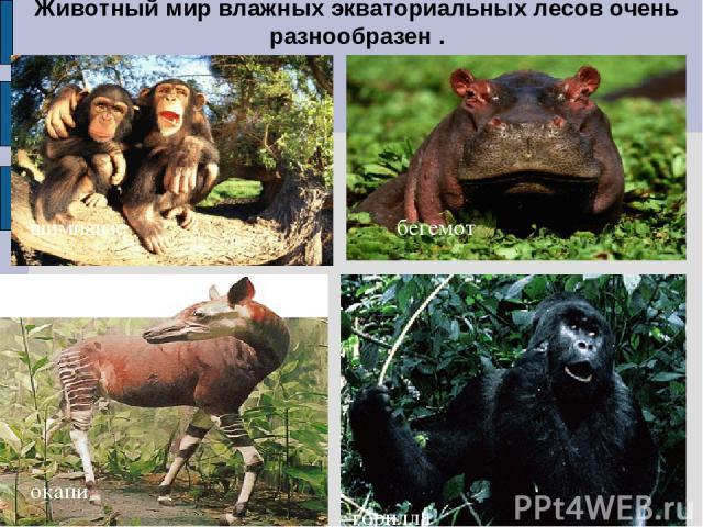Животный мир влажных экваториальных лесов очень разнообразен . шимпанзе окапи горилла бегемот