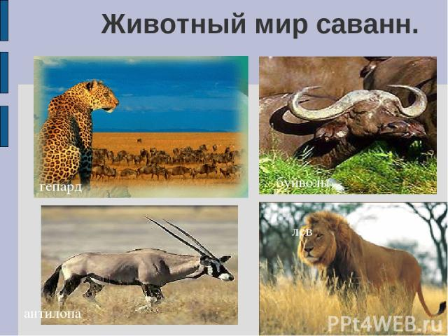Животный мир саванн. гепард антилопа буйволы лев