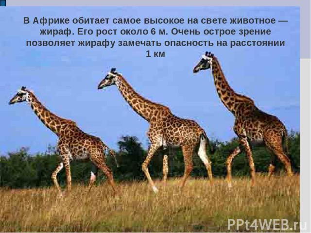 В Африке обитает самое высокое на свете животное — жираф. Его рост около 6 м. Очень острое зрение позволяет жирафу замечать опасность на расстоянии 1 км