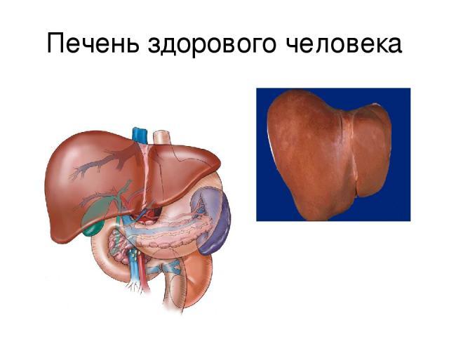 Печень здорового человека