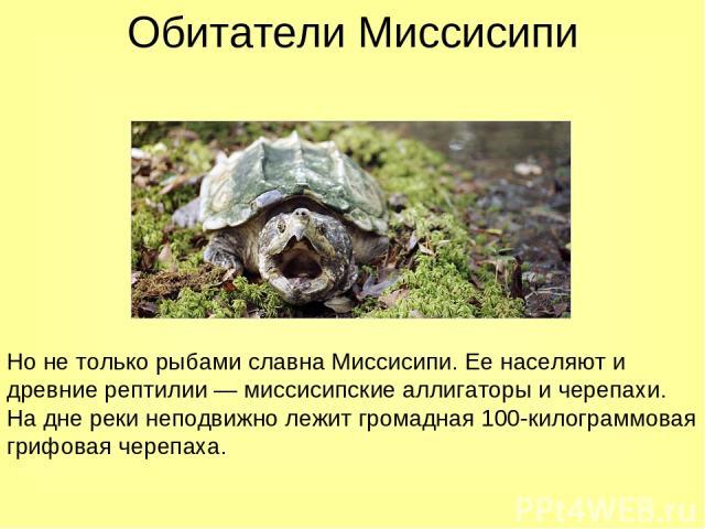 Обитатели Миссисипи Но не только рыбами славна Миссисипи. Ее населяют и древние рептилии — миссисипские аллигаторы и черепахи. На дне реки неподвижно лежит громадная 100-килограммовая грифовая черепаха.
