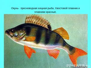 Окунь- пресноводная хищная рыба. Хвостовой плавник и плавники красные.