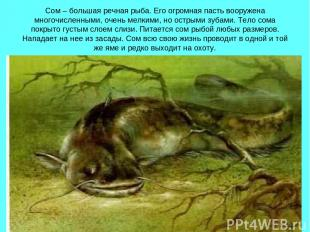 Сом – большая речная рыба. Его огромная пасть вооружена многочисленными, очень м