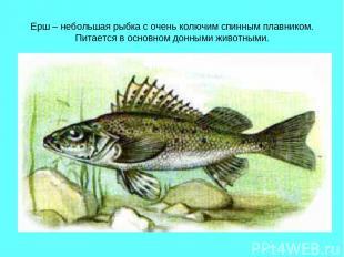 Ерш – небольшая рыбка с очень колючим спинным плавником. Питается в основном дон