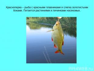 Красноперка – рыба с красными плавниками и слегка золотистыми боками. Питается р