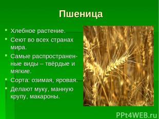 Пшеница Хлебное растение. Сеют во всех странах мира. Самые распространен-ные вид