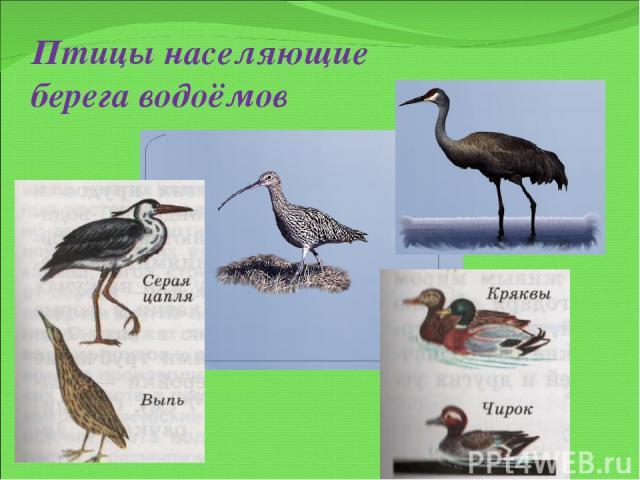 Птицы населяющие берега водоёмов
