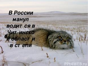 В России манул водится в Читинской области в степи