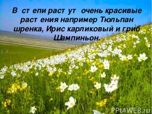 В степи растут очень красивые растения например Тюльпан шренка, Ирис карликовый