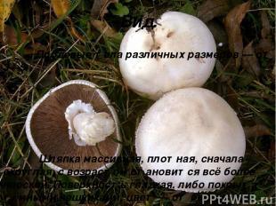 Вид. Плодовые тела различных размеров — от 3—5 Шляпка массивная, плотная, сначал
