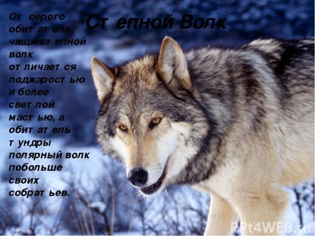От серого обитателя, чащи степной волк отличается поджаростью и более светлой мастью, а обитатель тундры полярный волк побольше своих собратьев. Степной Волк