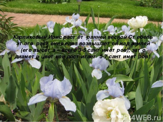 Карликовый Ирис растёт ранней весной Стебель этого растения едва возвышается над землей (его высота – всего 3-5 сантиметров), зато диаметр цветков достигает 5-7 сантиметров!